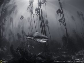 "Mystical Forest, Tracey Jennings. ""You don't need to travel far from cities to visit Narnia. This seven-gill shark was photographed in a kelp forest just off the shore of Simonstown near Cape Town."