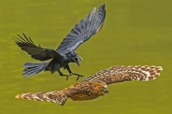 "Animal Portraits — Honorable Mention — ""Crow chasing Puffy Owl"" by Chia Boon Oo Lawrence"